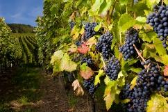 Photo of the Niagara Wine Grapes